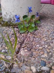 Fleur de pavé