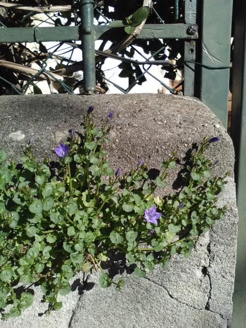 Fleur de pavé 11