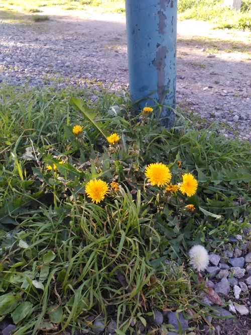Fleur de pavé 12