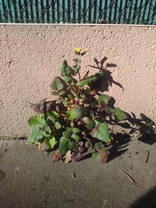Fleur de pavé 6