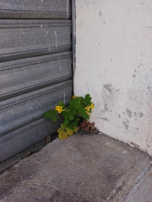 Fleur de pavé 8
